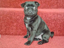 Search on for stolen puppy