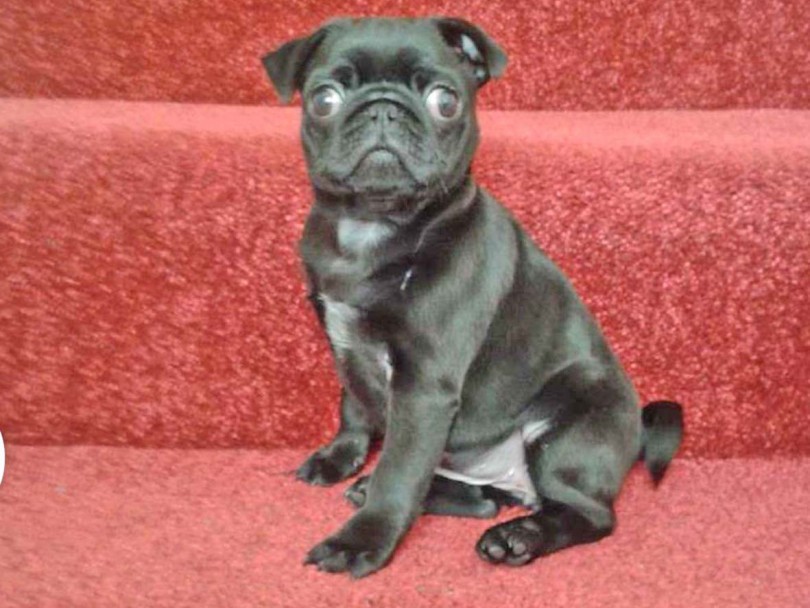 Ellis, 6, devastated after thieves grab Peaches the pug
