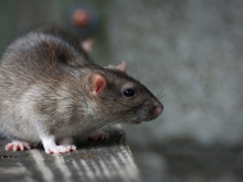 Plague of rats 'due to drain collapse'