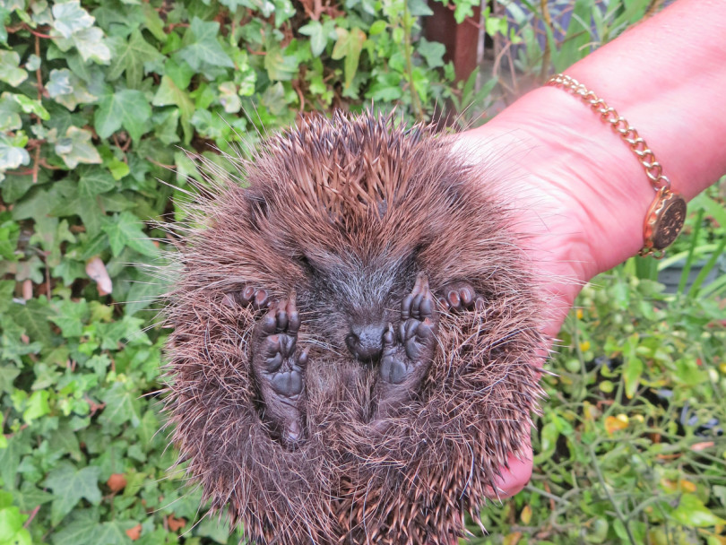 Cleck woman is helping hedgehogs