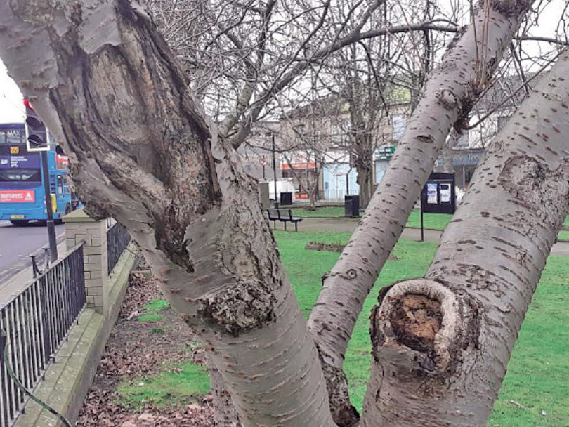 Much-loved cherry trees set to be replaced